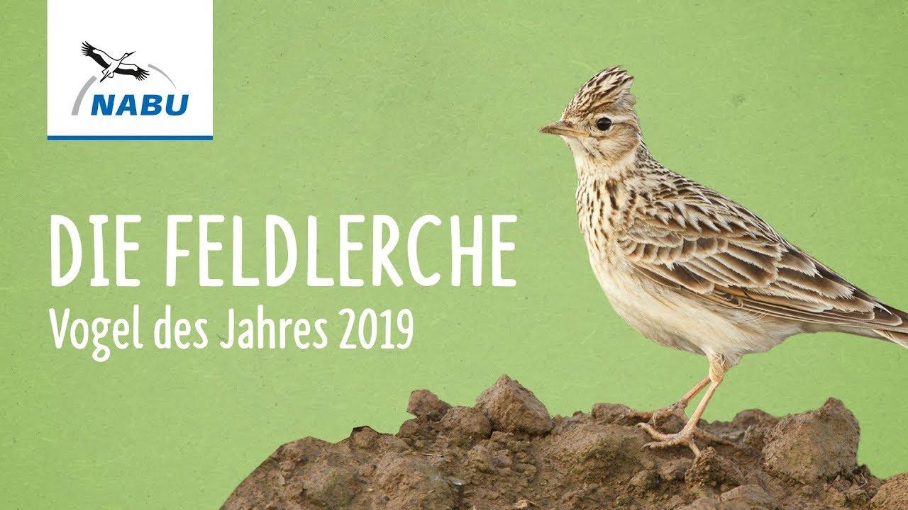 Feldlerche ist Vogel des Jahres 2019 bei Dream Boy Forum