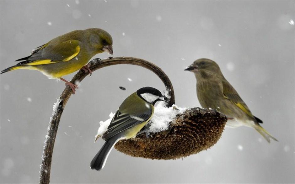 10.01.2019 | Bild des Tages | Vögel fressen gefrorene Sonnenblumen ...