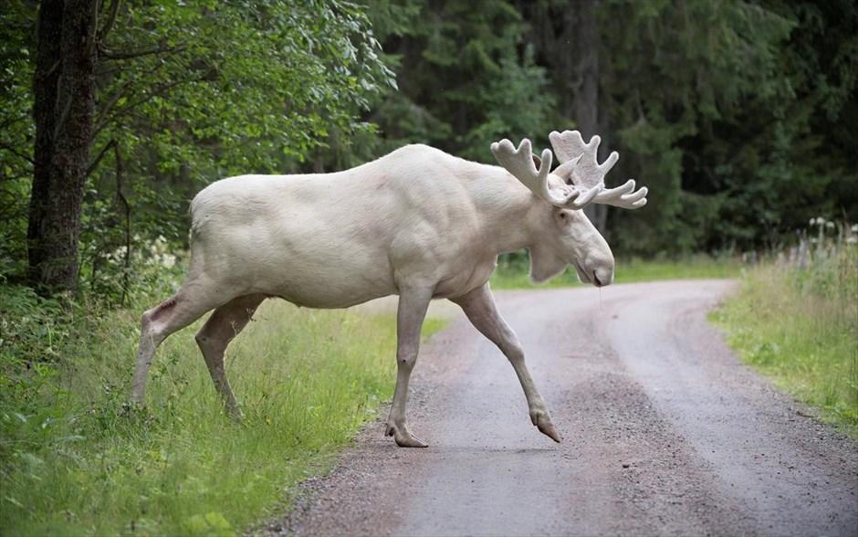Seltener weißer Elch in Schweden