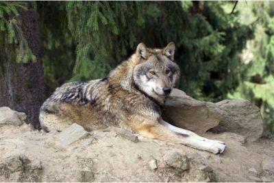 Auf den Spuren der Wölfe   Dream Boy